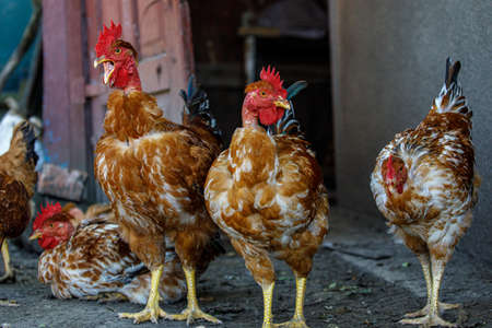 chickens and roosters at home, red chickens with bare necks, chickens look in the eyes, chickens close-up 写真素材