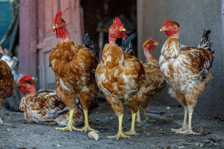 The rooster and its cocks are sitting resting on the ground, Red hens,