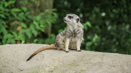 Meerkat warms up, on a stone