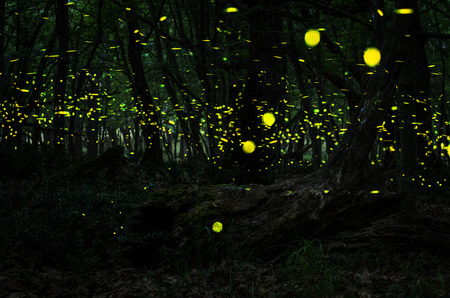 Fireflies Night in the forest with fireflies