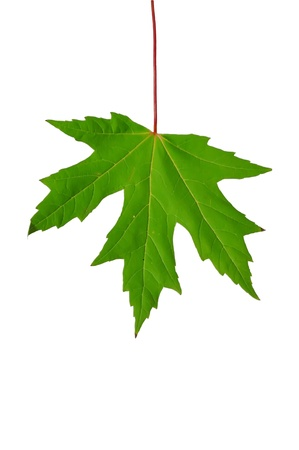 one sheet: Sheet of one of species of a maple, other side  Stock Photo