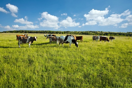 Cows grazing in green meadow photo