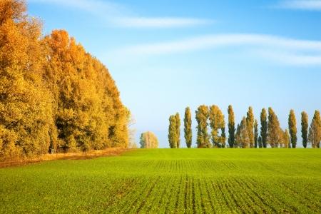 winter wheat: Autumn scenery with winter wheat field