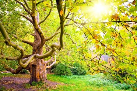 プラタナス: 秋のツリー シカモア