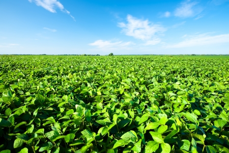 Rural landscape with fresh green soy field  Soybean field photo