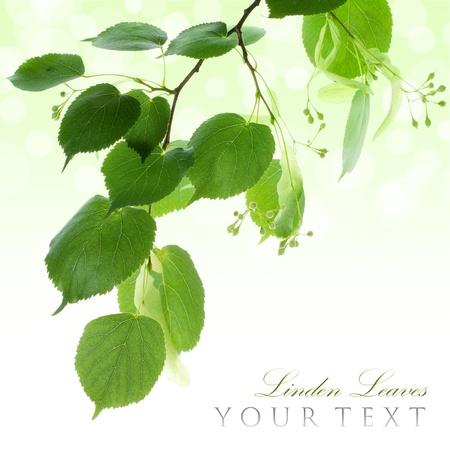 tilo: Fresh tilo hojas de borde verde con copia espacio Foto de archivo