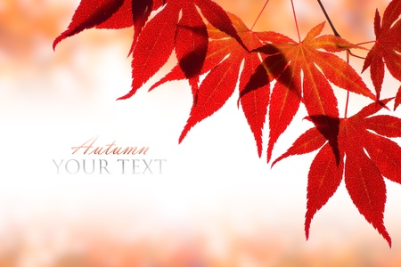 Beautiful red maple border over white with space for text photo