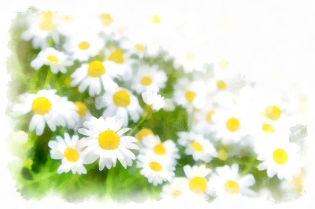 chamomile flower: Spring flowers meadow