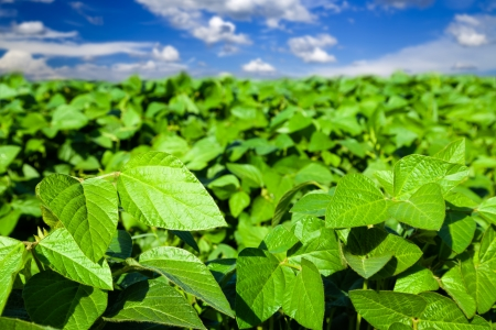 green beans: Soybean field Stock Photo