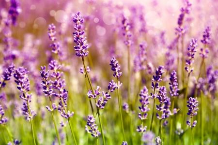 lavender field: Lavender floral background