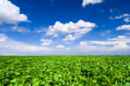 Soybean field Imagens