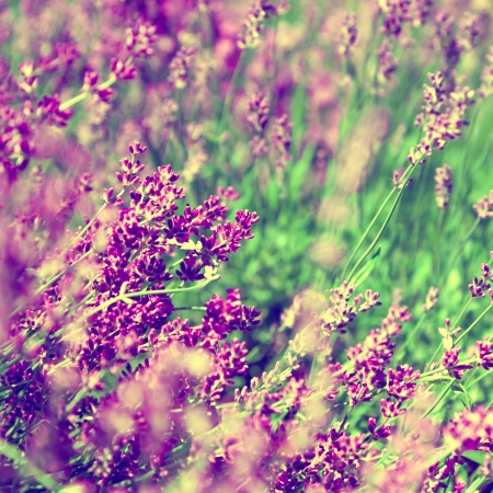 Lavender floral background photo