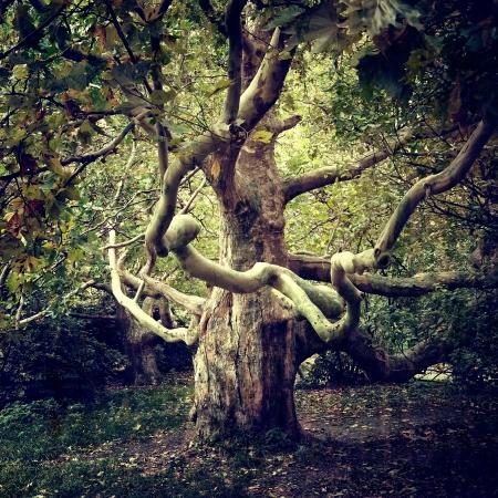 プラタナス: 古い木シカモア