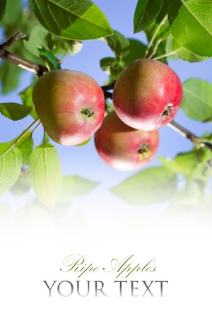 Apples on tree photo