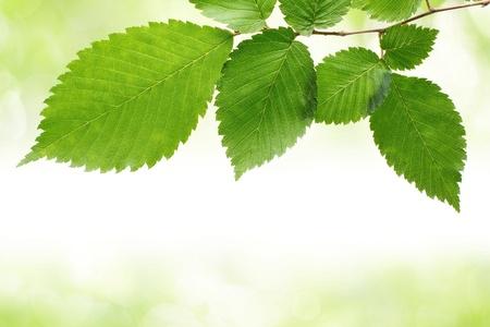 hojas de arbol: Hojas verdes frontera Foto de archivo