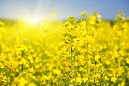 Flowering rapeseed photo