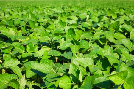 monoculture: Soybean field Stock Photo