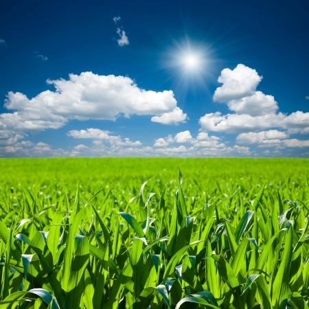 トウモロコシ畑 写真素材 - 21424502
