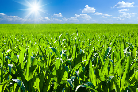 cornfield, outdoor, sunlight, soil, agriculture, green, spring, earth, cloud, sprout, row, farmland, day, tillage, germs, agrarian, leaf, field, culture, growing, summer, maize, farm, ploughed, springtime, furrow, landscaped, plantation, farming, stem, ag