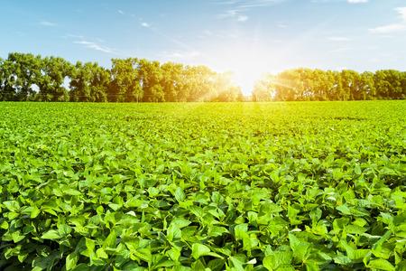 soy: Soybean field Stock Photo