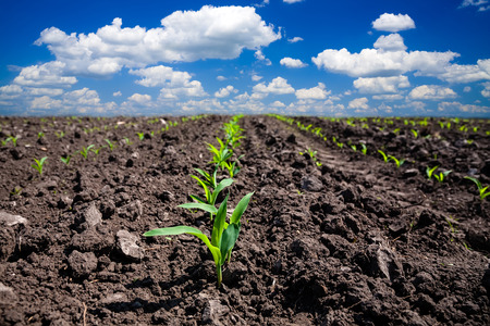 agriculture industry: Corn field