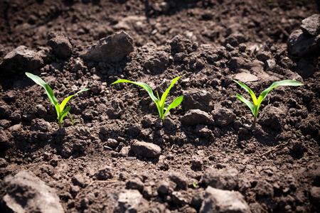トウモロコシの芽 写真素材