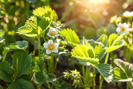 flowering strawberries in the garden
