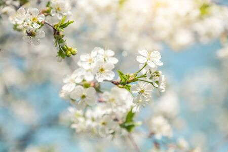 Spring nature background of blooming cherry branches and blue sky