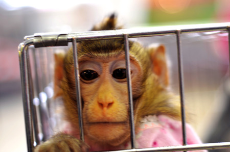 cage gorilla: a monkey in captivity, expressions of sadness and hatred