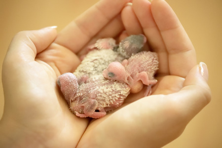 budgerigar: Holding Small Tender Budgerigar Babies In Hands Stock Photo
