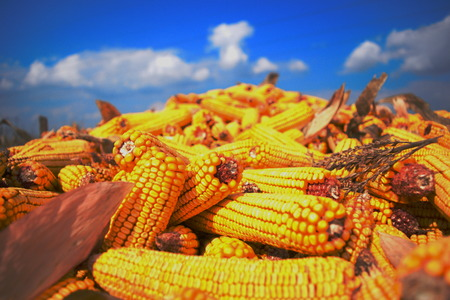 yellow corn: Corn Stock Photo