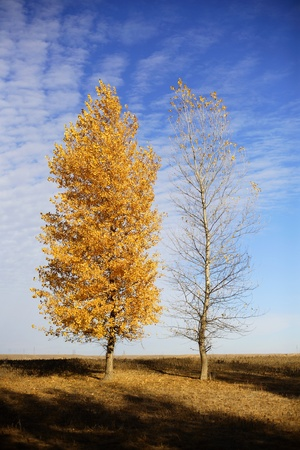 Two autumn trees - one with yellow foliage, another without leaves