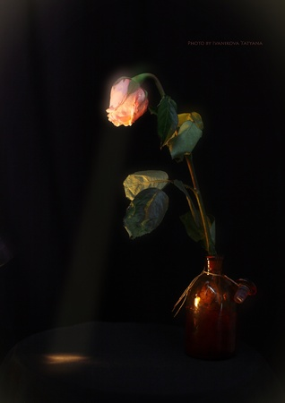 The rose exhales a ray of light Stock Photo
