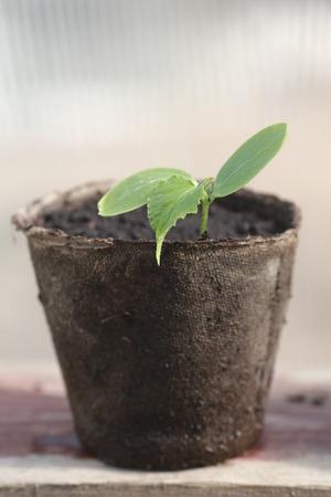 turf: turf pot met jonge scheuten van komkommer