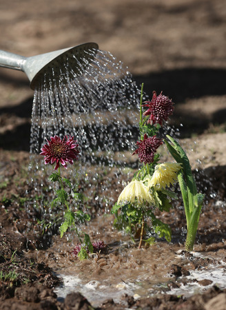 watering the flower from a watering can