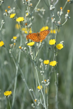 butterfly sits on a stalk of yellow chicory
