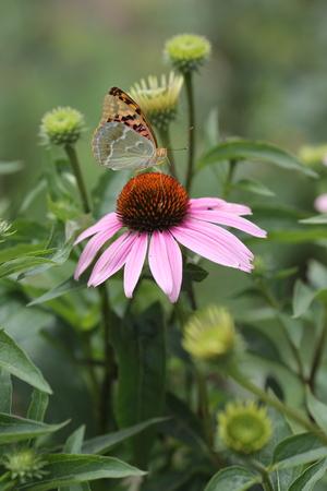 butterfly sitting on a flower purple Echinacea