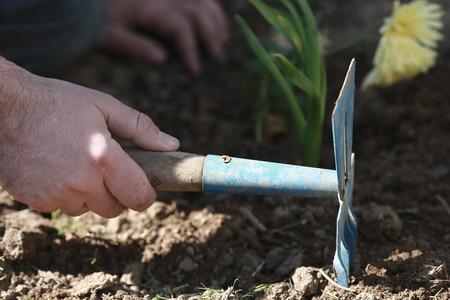 loosening the soil around the flower hoe Stock Photo