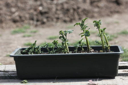 strongly sprouted seedling potatoes in a box Stock Photo