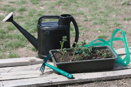 watering can, hose, hoe, a box of potato seedlings