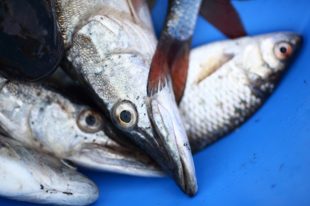 a few fish caught and lying in a large blue pelvis Stock Photo