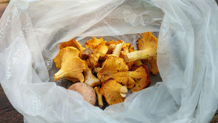 A handful of fresh chanterelle mushrooms of red color is in a cellophane bag. Concept of forest gifts and fresh food. Seasonal harvest