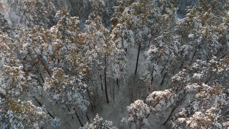 Fabulous forest in winter season. Snow-covered tops of long pine trees are illuminated by soft evening sun in frosty weather. Top view of wooded area