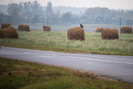 Black crow sitting on roll of straw among many bales in overcast foggy autumn weather in countryside against background of populated area. End of harvest season