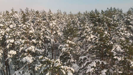 Dense coniferous forest with snow-covered branches and peaks in winter in good weather. Aerial view