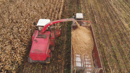 Forage harvester cuts dry corn stalks, threshes the cobs and pours grain from pipeline into tractor trailer. Joint work of agricultural machines