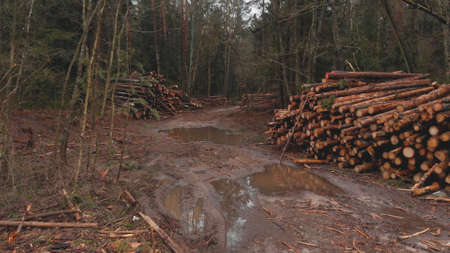 Pile of cut logs in the forest. Renewable local resources. Problem of deforestation. Wide-angle shot Banque d'images