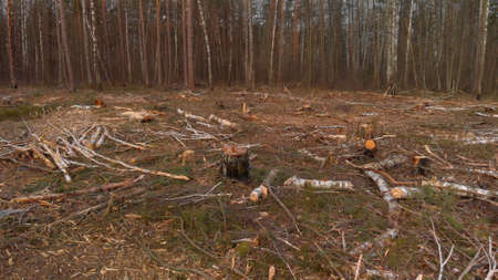 Cut-down plot of the destroyed forest in the spring at dawn. Fallen trunks of coniferous trees and stumps in the deforestation zone. Problem of environmental protection