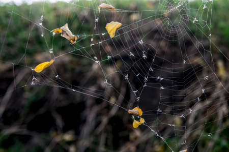 Yellow leaves indicate the autumn time. Fine and dangerous structure of a spiders web. The dark background and bright grid remind of fear. Trapped insects and leaves. The spiders net stretched in the branches. Stock Photo