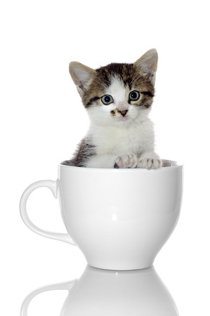 Kitten in Coffee Cup photo